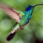 Os beija-flores do gênero Colibri têm entre 12 e 14 cm de comprimento e são relativamente grandes para o seu grupo. A sua plumagem é à base de verde brilhante menos o beija-flor marrom.