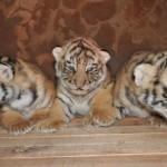 Filhotes de espécie rara de tigre