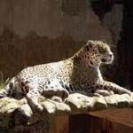 Onça - Zoo Americana -SP.