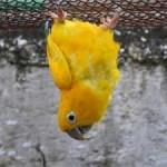 aves_americana