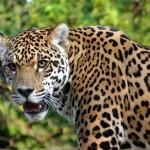 Jaguar_5247