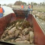 Os corpos dos animais começaram a aparecer na sexta-feira no Huangpu, em um trecho que está a 70 km de um dos principais cartões postais do país