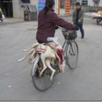 china_dogs , Qualidade Garantida, até o sexo está comprovado, é triste; porém quase  1,5 Bilão de bocas...