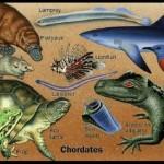 Os cordados constituem um grupo zoológico que compreende animais adaptados para a vida aquática e terrestre.