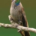 Os beija-flores do género Colibri têm entre 12 e 14 cm de comprimento e são relativamente grandes para o seu grupo.