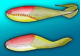 Pikaia – A origem dos peixes – o primeiro vertebrado.
